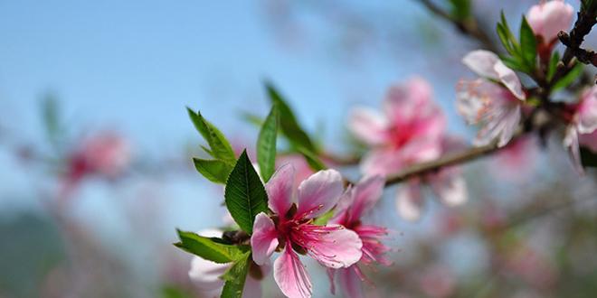 Tour tết Mộc Châu mùa hoa đào